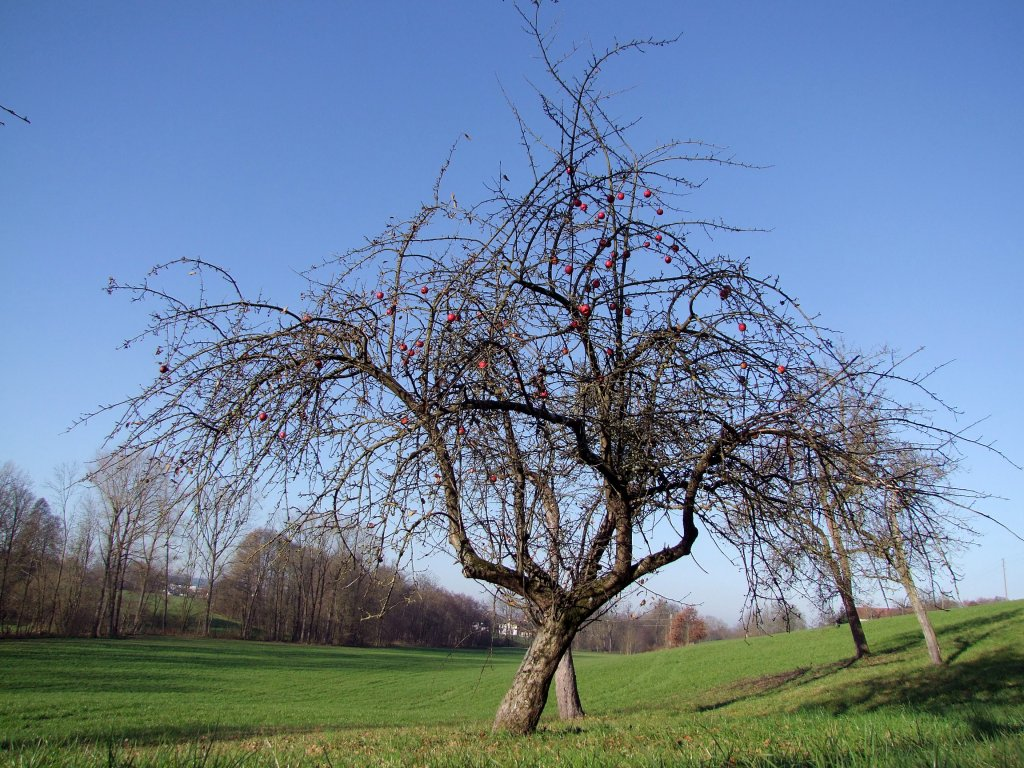 apfelbaum mit seinen letzten roten fr chten 111113. Black Bedroom Furniture Sets. Home Design Ideas