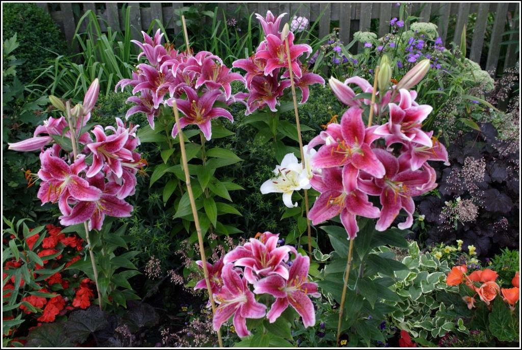 Lilien Pflanzen