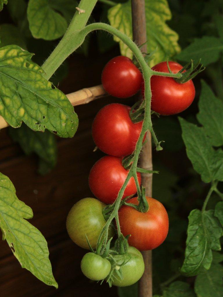 meine tomaten werden reif sie sind zur zeit. Black Bedroom Furniture Sets. Home Design Ideas