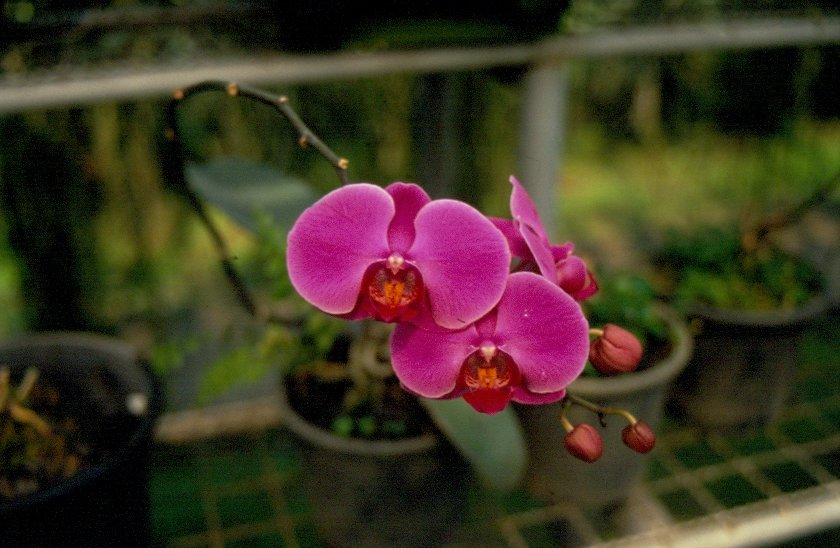 orchidee in einer orchideenfarm in chiang mai nordthailand im m rz 2006. Black Bedroom Furniture Sets. Home Design Ideas