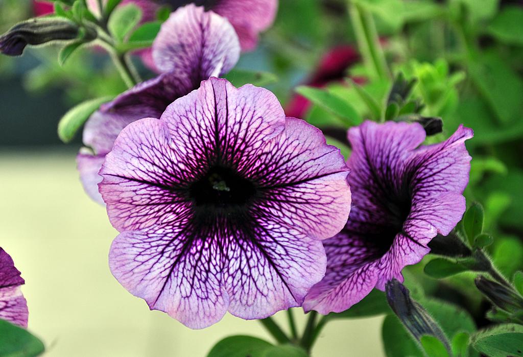 petunien flower power im blumenkasten. Black Bedroom Furniture Sets. Home Design Ideas