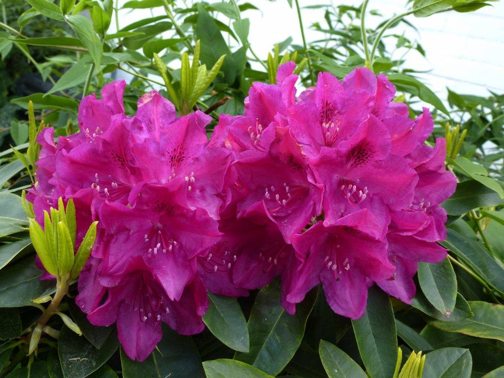 rhododendron beliebter zierstrauch in unseren g rten und parkanlagen mai 2013. Black Bedroom Furniture Sets. Home Design Ideas