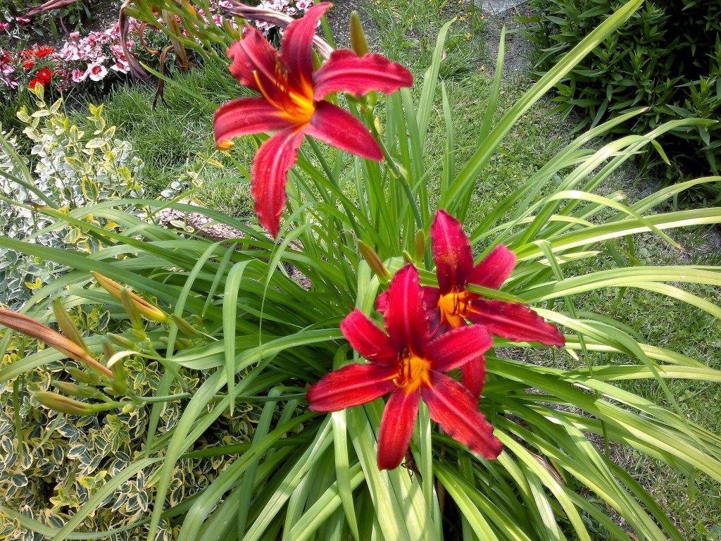 Wunderschöne Rote Lilien Im Garten Landschaftsfotoseu