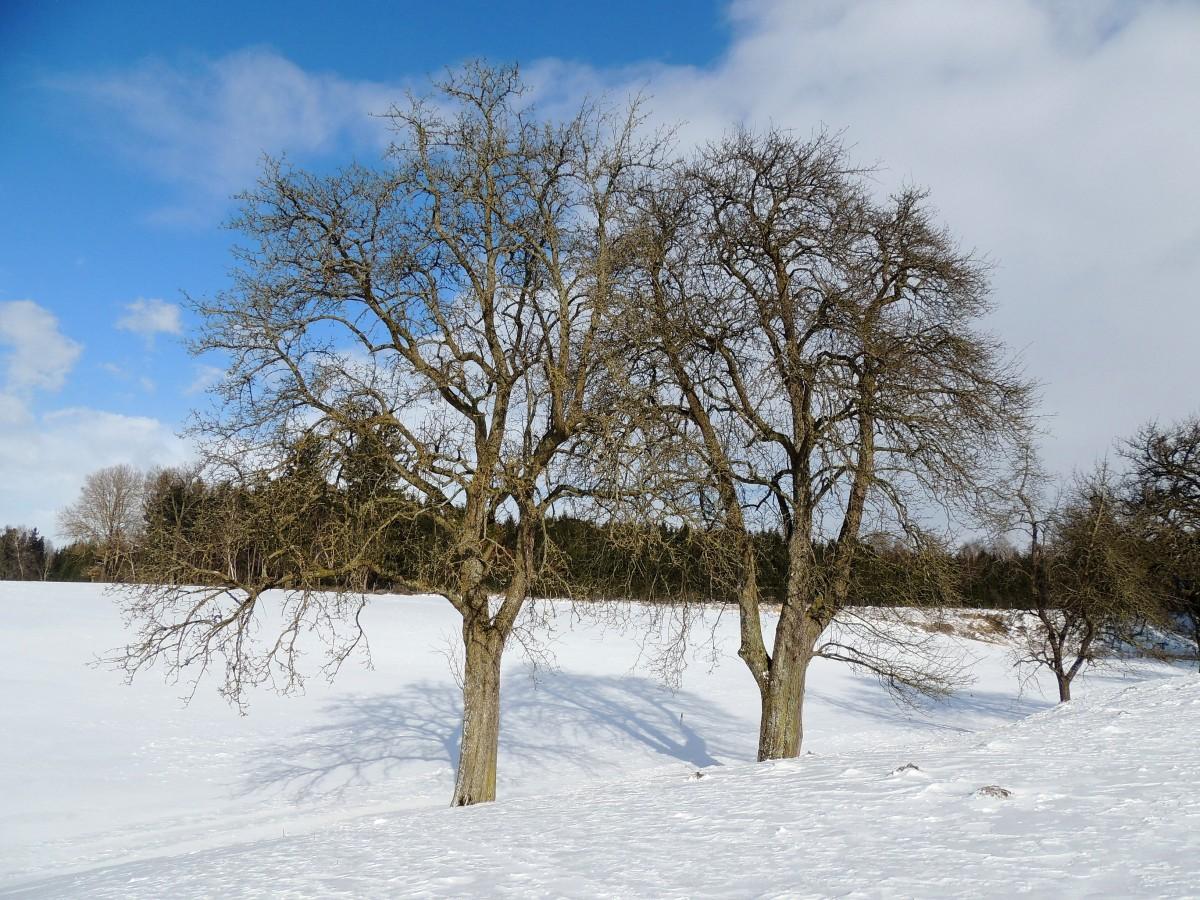 kahle obstb ume werfen ihre schatten auf die winterliche schneelandschaft bei hohenzell 150208. Black Bedroom Furniture Sets. Home Design Ideas
