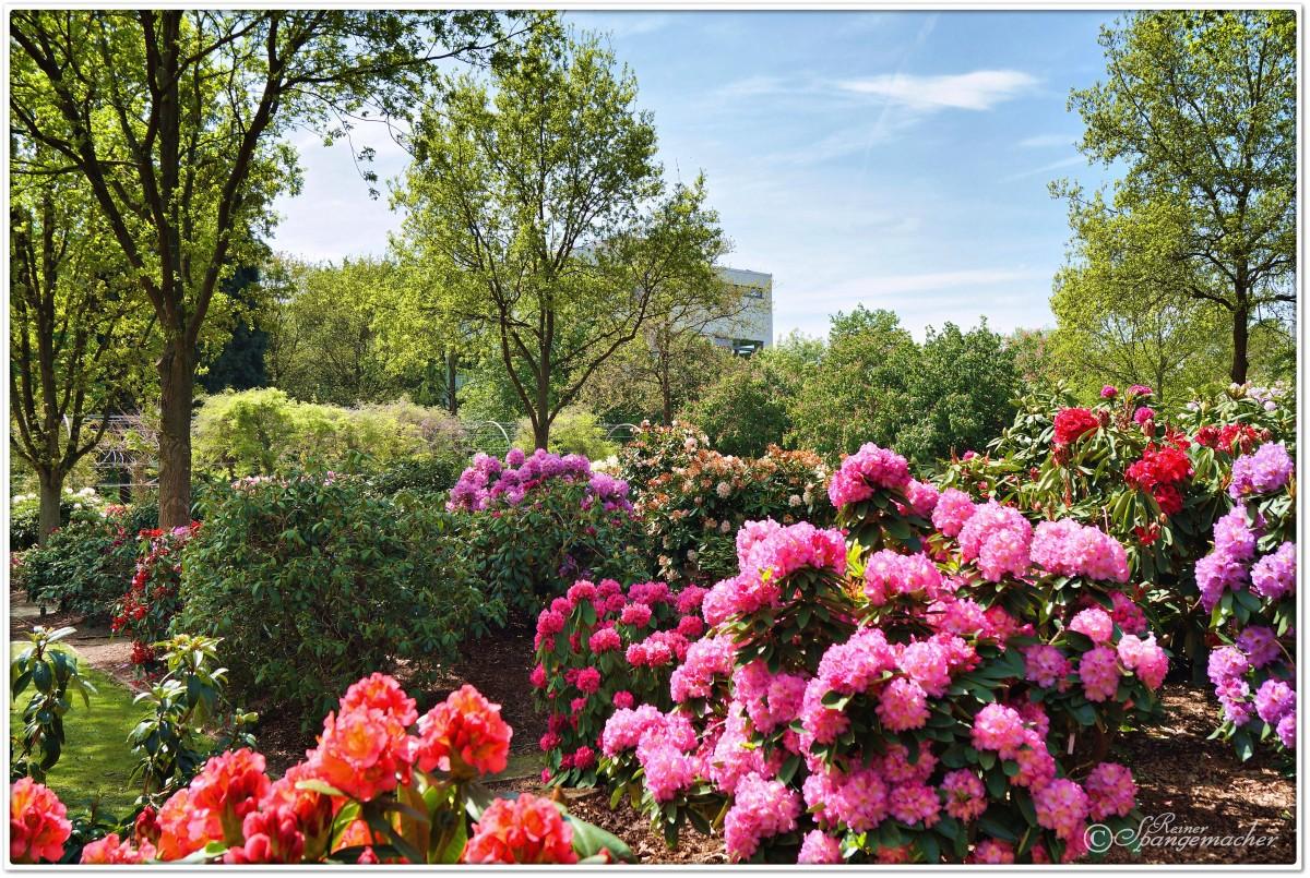 rhododendron park bremen horn lehe bl tezeit mitte mai. Black Bedroom Furniture Sets. Home Design Ideas