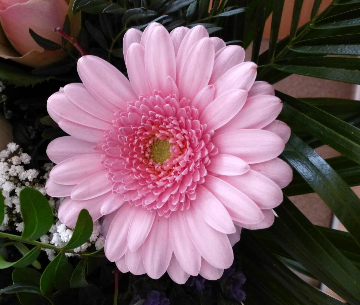 rosa gerbera hybrid geh rt zu den beliebtesten schnittblumen weltweit stammt urspr nglich aus. Black Bedroom Furniture Sets. Home Design Ideas