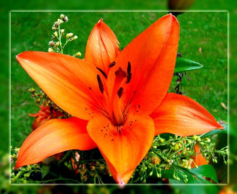 die farbenpracht der lilien finde ich faszinierend orangefarbene bl ten mag ich besonders. Black Bedroom Furniture Sets. Home Design Ideas