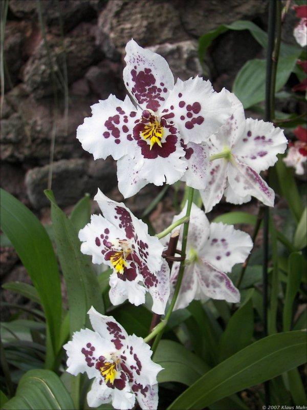 orchideen ausstellung im botanischen garten rombergpark dortmund. Black Bedroom Furniture Sets. Home Design Ideas