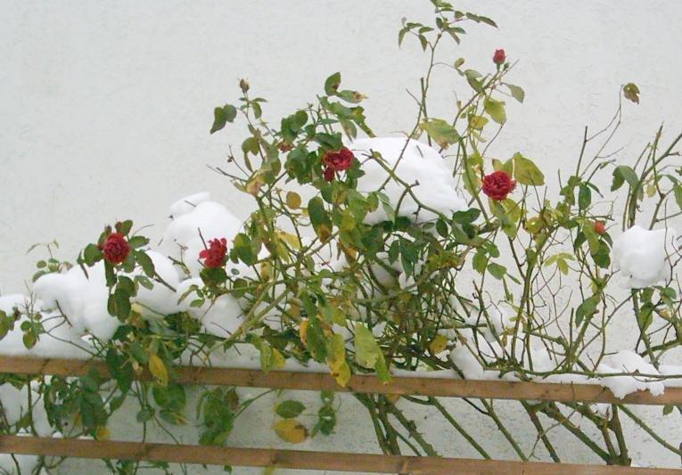 rosen bl hen mitten im winter ein seltener anblick aufgenommen 2006 weitere bilder unter http. Black Bedroom Furniture Sets. Home Design Ideas