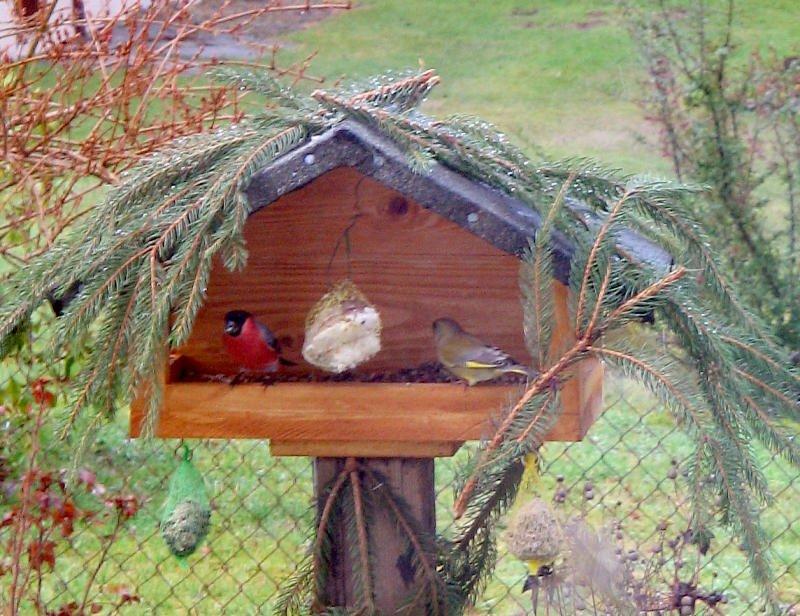 seltener gast am vogelhaus ein leuchtend roter gimpel war. Black Bedroom Furniture Sets. Home Design Ideas